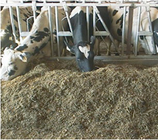 cows dairy silage