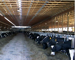 dairy silage cow